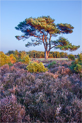 Bratley Dawn (Chris Beard - Images) Tags: blue winter england sunlight colour tree green yellow pinetree sunrise landscape dawn purple heather bluesky hampshire colourful february newforest heathland gorse whinn cloudlesssky purpleheather bratleyview bratley floweringgorse