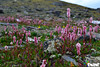 Flowers at Babusar Top (Arthur Anab Shams (Cheetoo)) Tags: naran saifulmaluk lalazar riverkunhar jalkhad babusarpass lulusarlake babusartop pyalalake gitidaspologround