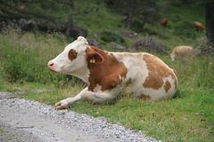 Dorfertal am 3.8.2012 (pilot_micha) Tags: alps animal austria kuh cow tirol sterreich urlaub august valley alpen tal tier 2012 spaziergang wanderung osttirol a glocknergruppe dorfertal daberklamm 382012