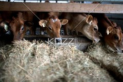 image of cattle at stable (fredphotos8877) Tags: barley animal mammal outdoors photography cow day cattle eating shed nobody nopeople pasture hay livestock stable farmanimal dairyfarm domesticanimal colorimage ruralscene herbivorous animalsfeeding nonurbanscene cerealplant domesticcattle dairycattle hoovedanimal mediumgroupofanimals domescticated