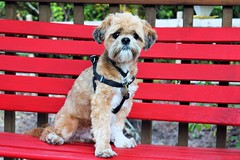 """295. 8/21 """"Peccadilloes"""" - Please not another photo session! (~Patti~) Tags: red bench r 366 odc1 peccadilloes dogchal"""