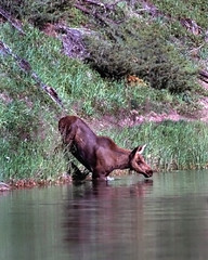 Moose Calf Entering Water (MInty_Verbeten) Tags: life park wild summer baby lake canada water animal animals swimming jasper wildlife fear young mother parks moose canadian national stepping alberta planet learning scared calf fearful jaspernationalpark following wildanimals hesitant canadianwildlife into westernwildlife