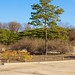 Park with tree on the grounds of Gyeongbokgung or Palace of Shining Happiness in Seoul, South Korea