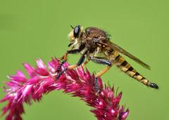 Cute as A Bug (Maggggie) Tags: cute song creepy robberfly but odc cuteasabug