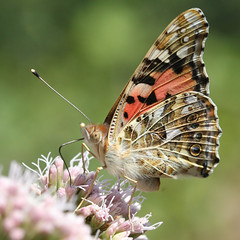Brightly Painted Lady (Ger Bosma) Tags: cosmopolitan a1 paintedlady distelvlinder curator vanessacardui distelfalter vanesseduchardon vanessadelcardo vanesadeloscardos mygearandmegold 5g1 mygearandmeplatinum mygearandmediamond flickrstruereflection1 flickrstruereflection2 flickrstruereflection3 gettycurator img58650afiltered