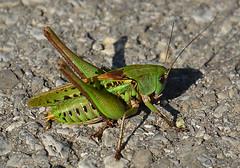 "incontri.. ""Locustone brizzolato"" (Decticus verrucivorus) (sun sand & sea) Tags: verde green animals vert tettigoniidae animali insetti cavalletta decticusverrucivorus locustonebrizzolato"
