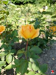 Roses - Gramdiflora rose - Rosa 'Strike it Rich' - Rosaceae SC20120826 284 (fotoproze) Tags: roses canada rose quebec montreal rosen gl rosas rozen 2012 roser    rosor mawar jardinbotaniquedemontral rsir re re  montrealbotanicalgardens trandafiri arrosak ruusut hoahng       rue    rzsk queenrose vrtnice ris  rhosynnau
