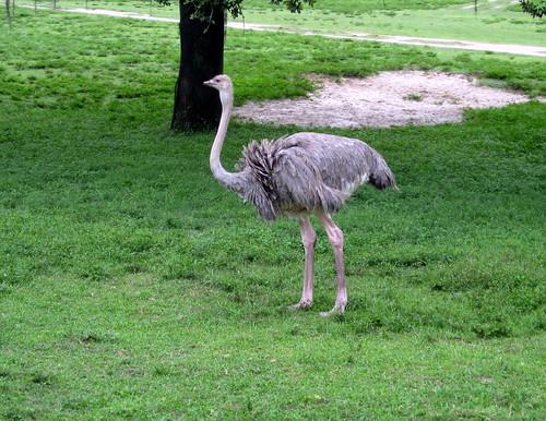 Tampa - Busch Gardens - Serengeti Railway - Ostrich