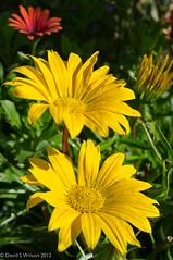 Yellow Pair (David S Wilson) Tags: uk flowers england flower ely fens 2012 lightroom flowersplants fujifilmx100 davidswilson adobelightroom4
