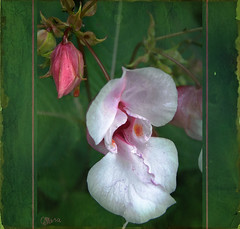 """Himalayan balsam - Drüsiges Springkraut (Mara ~earth light~) Tags: flower texture nature photoshop venus blossom legacy herb impatiens """" jewelweed tistheseason cretivecommons ourtime himalayanbalsam drüsigesspringkraut fantasticnature photographymypassion mara~earthlight~ lovelymotherearth"""" artcityart"""