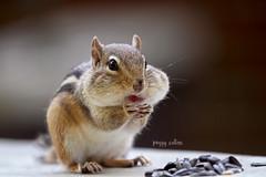 I'm starting my diet tomorrow! (Peggy Collins) Tags: cute seeds chipmunk cheeks getty chipmonk gettyimages chipmunks cuteanimals fullcheeks animaleating chipmunkeating peggycollins