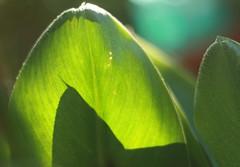 Blätter im Sonnenschein (theresa.oberstrass) Tags: blatt blätter sonnenschein lichtspiel flickrandroidapp:filter=none