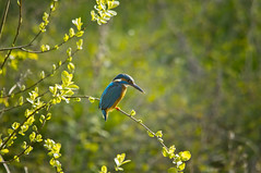 Kingfisher (Chris McLoughlin) Tags: kingfisher fairburnings fairburningsrspbreserve sigma150mm500mm chrismcloughlin sonya580
