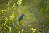 Kingfisher (Chris McLoughlin) Tags: kingfisher fairburnings fairburningsrspbreserve sigma150mm500mm chrismcloughlin sonya580