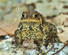 """Sad Stare"" (jannagal) Tags: usa nature lakeerie michigan wildlife amphibian toad americantoad bufoamericanus lakeeriemetropark canon60d jannagal jannagalski"