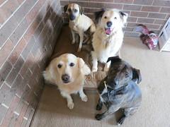 Doggie daycare (Rayya The Vet) Tags: goldenretriever canine australianshepherd twitter staffycross whippetcross caninedogsitting