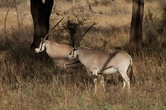 Beisa Oryx, Samburu, Kenya (Nigel Cooke) Tags: africa animal kenya wildlife safari antelope samburu beisaoryx