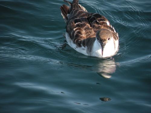 canada bird nature novascotia wildlife northamerica bayoffundy greatershearwater Taxonomy:binomial=puffinusgravis