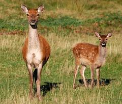 Red Deer Hind with Fawn (kev747) Tags: england countryside leicestershire wildlife deer britishwildlife reddeer midlands bradgatepark bradgate