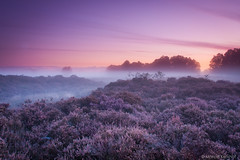 MK_120923_0112 (Marcel Kerkhof) Tags: morning autumn light red sky cloud sun mist plant tree nature netherlands beautiful fog sunrise landscape dawn quercus purple bright outdoor heather stunning awe drenthe heathland balloerveld balloo ericatetralix