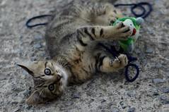 Like a Tiger (moniq84) Tags: micio gatto cat kitten kittens tigrato 2 mesi two months young gioco pupazzo corda peluche play occhi eyes look me guardami regarde moi unghie unghia gattino giocherellone simpatico sweet chat bokeh nikon 50mm piccola tigre little tiger