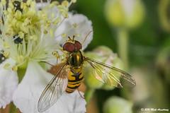 Hoverfly_Episyrphus balteatus10.jpg (T9FURY) Tags: july hoverfly rutlandwater 2016 episyrphusbalteatus