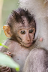 IMG_0264 (Two people two cameras) Tags: indonesia bali asia travel photography photo nature macaque monkeys macaquemonkeys baby babymonkey canon 70200 wildlife