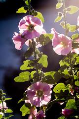 Licht und Schatten - light and shadow (ralfkai41) Tags: mallow shadow flowers plants blossoms outdoor natur garden pflanzen schatten backlight blten malve garten nature gegenlicht blumen