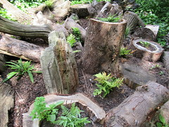 25/7/2016, 207/365, Logs and ferns IMG_3162 (tomylees) Tags: log garden public gardens braintree essex project 365 july 2016 25th monday