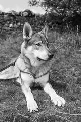 DSC00679 (Andrew Gibson.) Tags: lakedistrict maleswolf sonya7ii sonyilce7m2 thepredatorexperience wolves wolf wildlife wolfhybrid predatorexperiencecouk maska kajika outdoor animal bw blackandwhite