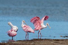 Tres Amigos (ac4photos.) Tags: roseatespoonbill spoonbill spoonies nature wildlife animal bird beach florida dingdarling naturephotography wildlifephotography animalphotography birdphotography nikon d300s tamron ac4photos ac