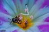 Insects and flowers - Çiçek ve böcek - 1 (omardaing) Tags: yellow flowers spring color flower sun summer beautiful natural plant green insect pink garden purple bug pentax k10d sigma 105mm böcek çiçek