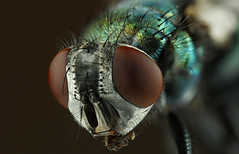 Lucilia sericata 3 (ixus960) Tags: stack focusbracketing focusstacking macro mouche fly vert green luciliasericata insecte diptre