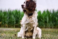 English springer Spaniel (Gaby Swanson, Photographer) Tags: dog dogs animals animal pets brown domestic dogportrait huntingdogs birddogs whiteandbrowndogs