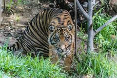 """ Eye Lock "" (ToddLahman) Tags: sumatrantiger suka sandiegozoosafaripark safaripark canon7dmkii canon canon100400 tigers tiger tigertrail tigercub teddy joanne escondido eyelock"