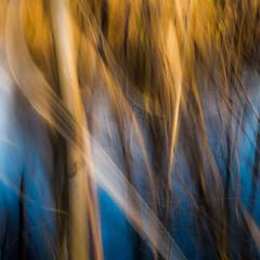 lianes infinies (zventure,) Tags: bordsduvar abstrait extrieur eau eaudouce abstract roseaux bleu jaune carr crpuscule cach couleurs fil flou france fleuve fleuvecotier flore square soleil soire
