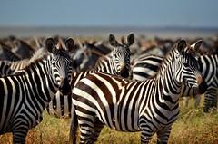PWS_6807 (paulshaffner) Tags: dorobo safaris dorobosafaris serengeti safari studyabroad education abroad tanzania penn state pennstate biology pennstatebiology