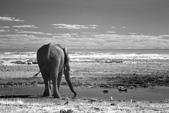 Another Bull Elephant (zenseas) Tags: elephant africanbushelephant africanelephant bull male driving selfdrive safari selfdrivesafari namutoni etoshanationalpark etosha loxodontaafricana roadside mud waterhole namibia africa holiday vacation bw blackandwhite ir digitalinfrared wild