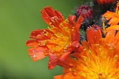 Orangerotes Habichtskraut 1 (DianaFE) Tags: dianafe blume blte wildkraut wiesenblume tropfen regen makro tiefenschrfe schrfentiefe