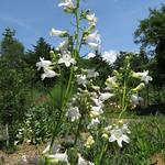 Penstemon digitalis - Plantaginaceae thumbnail