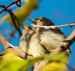 Honeyeater chicks at East Point_0121 (Jen Crowley Photography) Tags: chick chicks bird honeyeater eastpoint northernterritory nikon nt australia brownhoneyeater