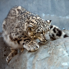 Prte  bondir! / Ready to jump! (Mad Blike) Tags: panasonic panasonicgx8 panasoniclumix lumixgvario100300f4056 tlobjectif telephoto telezoom fauve wildcat loparddesneiges snowleopard chat cat pelage coat