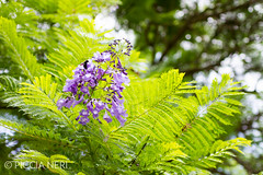 Jacaranda mimosifolia is a beautiful sub-tropical tree native to South America and widely exported everywhere. It has beautiful, long-lasting panicles of blue-lilac flowers in the summer-6.jpg (PicciaNeri) Tags: sunny mauve nature leaf city prickles jacaranda iberia spanish plant spain tree bee lilac pollen europe petals comunidadvalenciana southerneurope flower mimosifolia leaves blue valencia iberianpeninsula beautiful hot subtropical purple green mediterranean summer cluster park