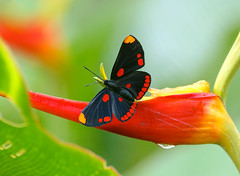 Pixie---Melanis pixe sanguinea (creaturesnapper) Tags: lepidoptera butterflies rincondelavieja borinquenmountainresort costarica riodinidae melanispixesanguinea pixie