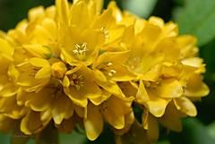 Gilbweiderich 2 (DianaFE) Tags: dianafe blte pflanze blume wildkraut wiesenblume makro tiefenschrfe schrfentiefe
