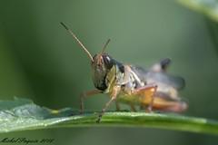 27082016-_PM03375_GF (michel paquin2011) Tags: insecte sauterelle parc rapides lasalle