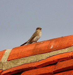 Spotted Flycatcher up on the Roof (Chris Baines) Tags: spotted flycatcher stutton mill suffolk