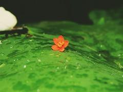 alone (Shafi Uddin1) Tags: flower redflower greenred green nature beautyofnature naturalwater natural theartofnature alone beautiful beautifulflower bangladesh asia horizontal ngc supershot nikon nikkor40136mm nikkor nikoncoolpixl830 nikonlens nikoncoolpix netrokona macro macrophotography macrolens peter matthias foto kai