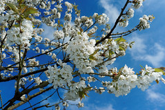 it's spring (bobbybee2000) Tags: spring frhling blauerhimmel bluesky kirschblte cherryblossom color fujix100 fujix100s x100t