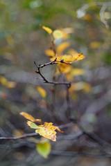 yellow (Vladi_L) Tags: autumn fall leaf nature nx300 nx samsung manual minolta md rokkorx